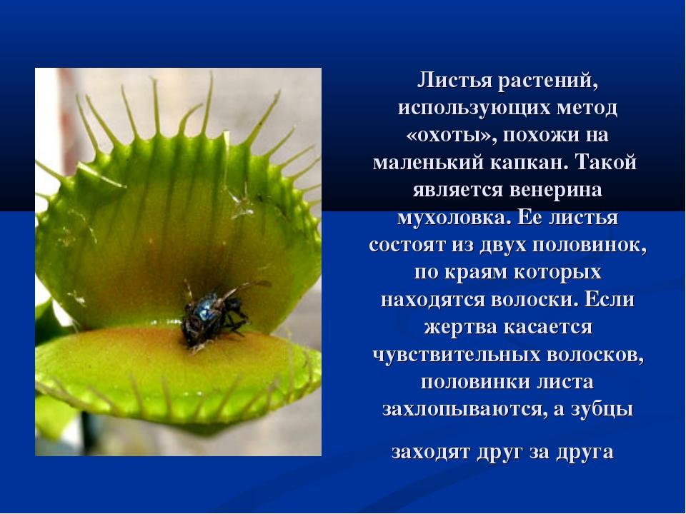 Листья растений, использующих метод «охоты», похожи на маленький капкан. Тако...