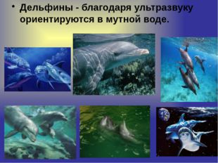 Дельфины - благодаря ультразвуку ориентируются в мутной воде.