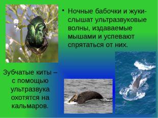 Зубчатые киты – с помощью ультразвука охотятся на кальмаров. Ночные бабочки