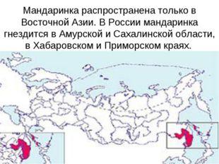 Мандаринка распространена только в Восточной Азии. В России мандаринка гнезди