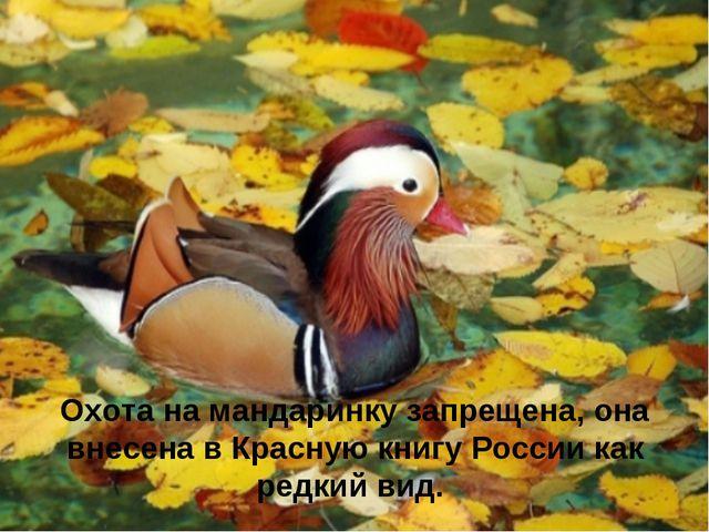 Охота на мандаринку запрещена, она внесена в Красную книгу России как редкий...