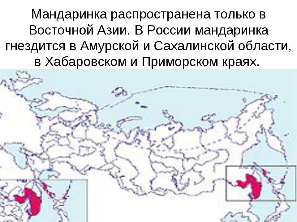 Мандаринка распространена только в Восточной Азии. В России мандаринка гнезди...