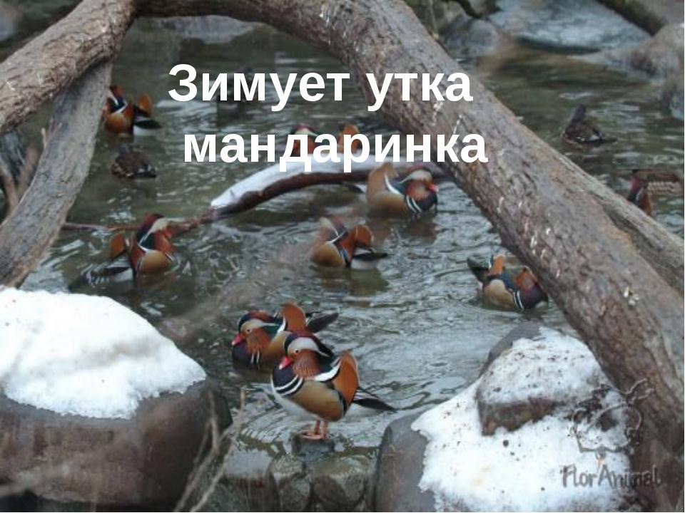 Зимует утка мандаринка