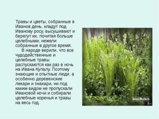 Травы и цветы, собранные в Иванов день, кладут под Иванову росу, высушивают