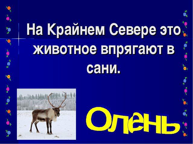 На Крайнем Севере это животное впрягают в сани.