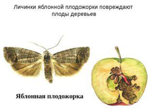 Яблонная плодожорка Личинки яблонной плодожорки повреждают плоды деревьев