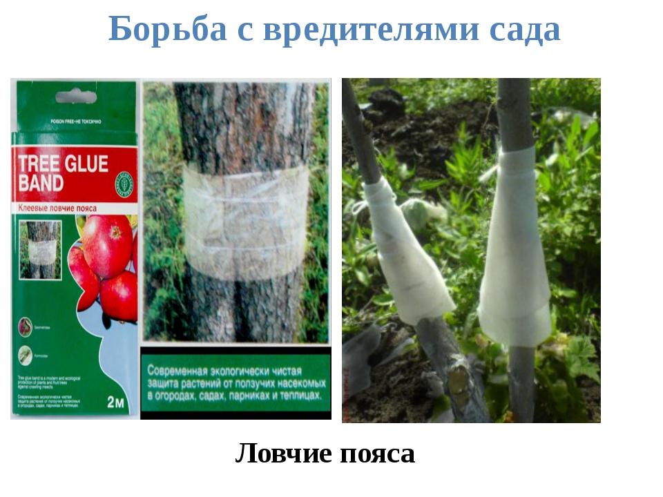 Ловчие пояса Борьба с вредителями сада