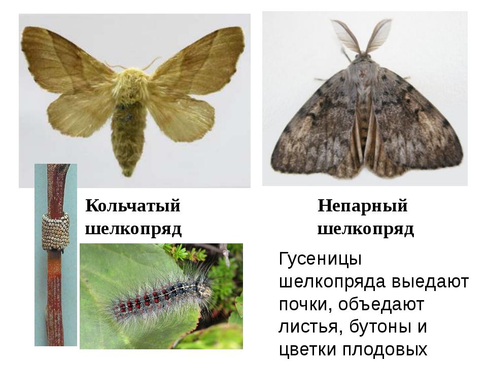 Кольчатый шелкопряд Непарный шелкопряд Гусеницы шелкопряда выедают почки, объ...