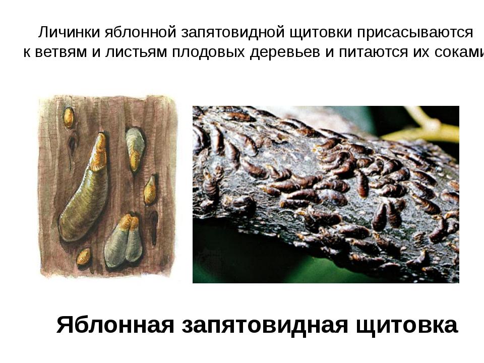 Яблонная запятовидная щитовка Личинки яблонной запятовидной щитовки присасыва...