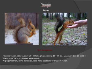 Длина тела белок бывает 20—32 см, длина хвоста 19—31 см. Масса от 180 до 1000