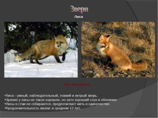 Лиса - умный, наблюдательный, ловкий и хитрый зверь. Зрение у лисы не такое