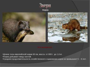 Длина тела европейской норки 60 см, масса от 800 г до 1,6 кг. Норка добывает