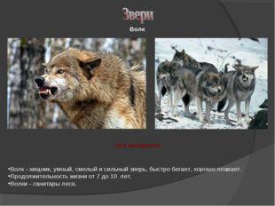 Волк - хищник, умный, смелый и сильный зверь, быстро бегает, хорошо плавает.