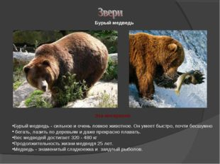 Бурый медведь - сильное и очень ловкое животное. Он умеет быстро, почти бесшу