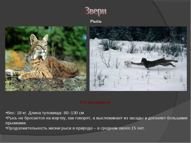 Рысь Вес: 18 кг. Длина туловища: 80–130 см Рысь не бросается на жертву, как г...