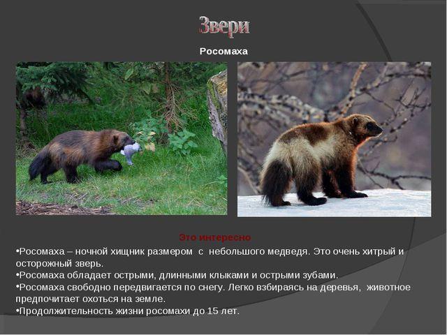 Росомаха – ночной хищник размером с небольшого медведя. Это очень хитрый и ос...