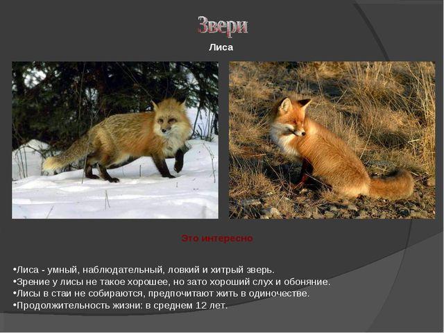 Лиса - умный, наблюдательный, ловкий и хитрый зверь. Зрение у лисы не такое...