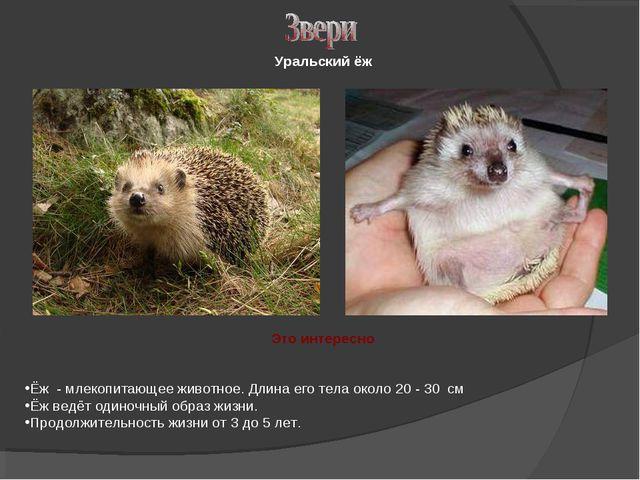 Уральский ёж Это интересно Ёж - млекопитающее животное. Длина его тела около...