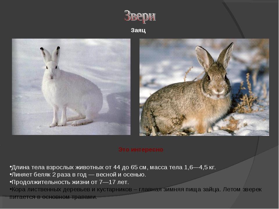 Заяц Длина тела взрослых животных от 44 до 65см, масса тела 1,6—4,5кг. Линя...