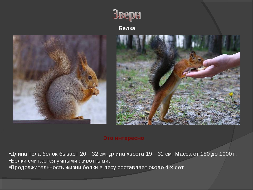 Длина тела белок бывает 20—32 см, длина хвоста 19—31 см. Масса от 180 до 1000...