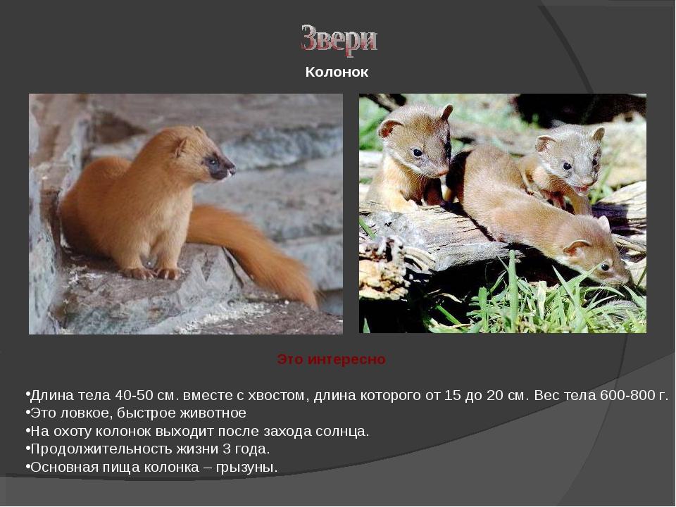 Колонок Длина тела 40-50 см. вместе с хвостом, длина которого от 15 до 20 см....