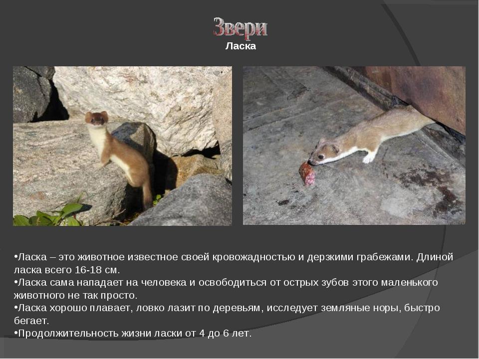 Ласка Ласка – это животное известное своей кровожадностью и дерзкими грабежам...