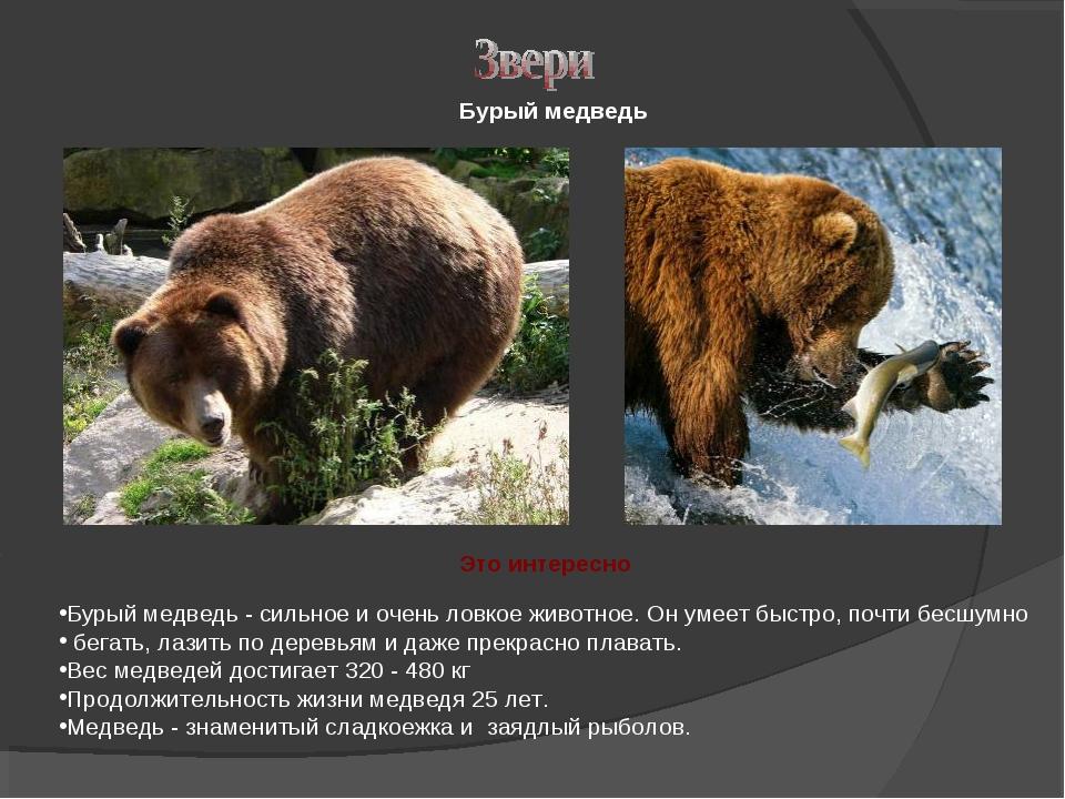 Бурый медведь - сильное и очень ловкое животное. Он умеет быстро, почти бесшу...