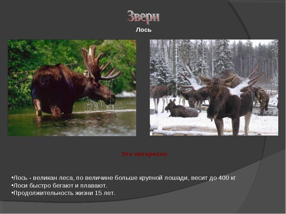 Лось Лось - великан леса, по величине больше крупной лошади, весит до 400 кг...