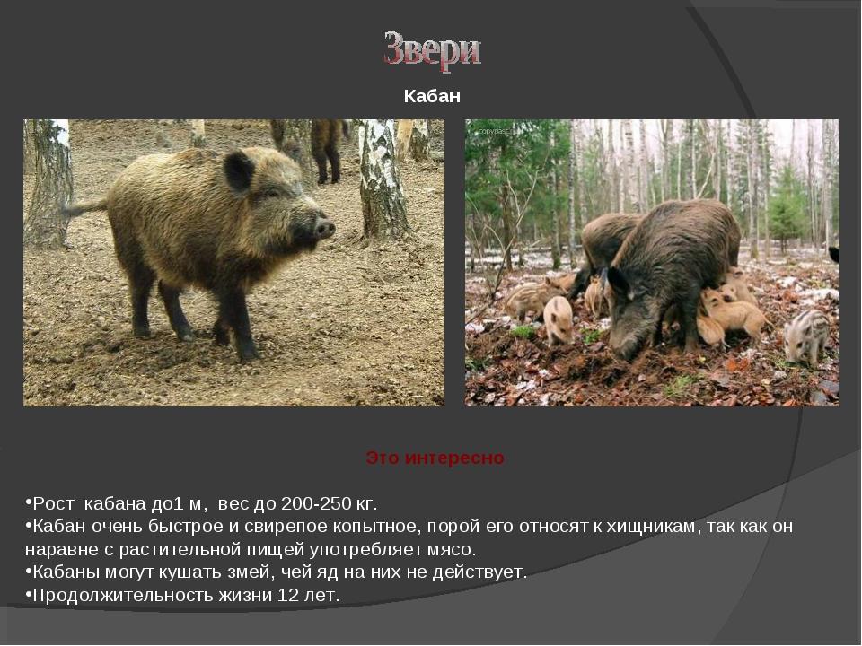 Кабан Рост кабана до1 м, вес до 200-250 кг. Кабан очень быстрое и свирепое к...