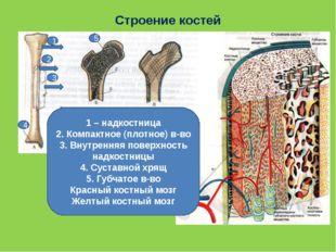 Строение костей 1 – надкостница 2. Компактное (плотное) в-во 3. Внутренняя по