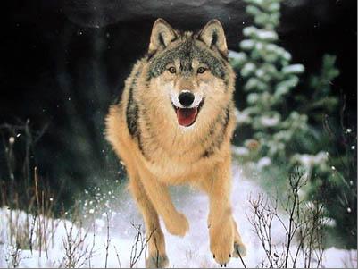 http://krai.myschool44.edu.ru/pics/krasnaya_kniga_kuzbassa/volk.png