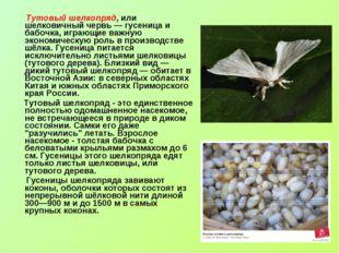 Тутовый шелкопряд, или шелковичный червь — гусеница и бабочка, играющие важн