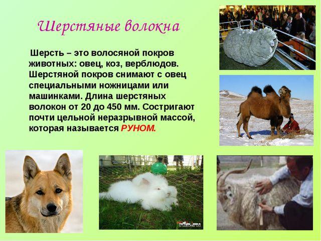 Шерстяные волокна Шерсть – это волосяной покров животных: овец, коз, верблюдо...