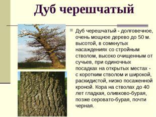 Дуб черешчатый Дуб черешчатый - долговечное, очень мощное дерево до 50 м. вы