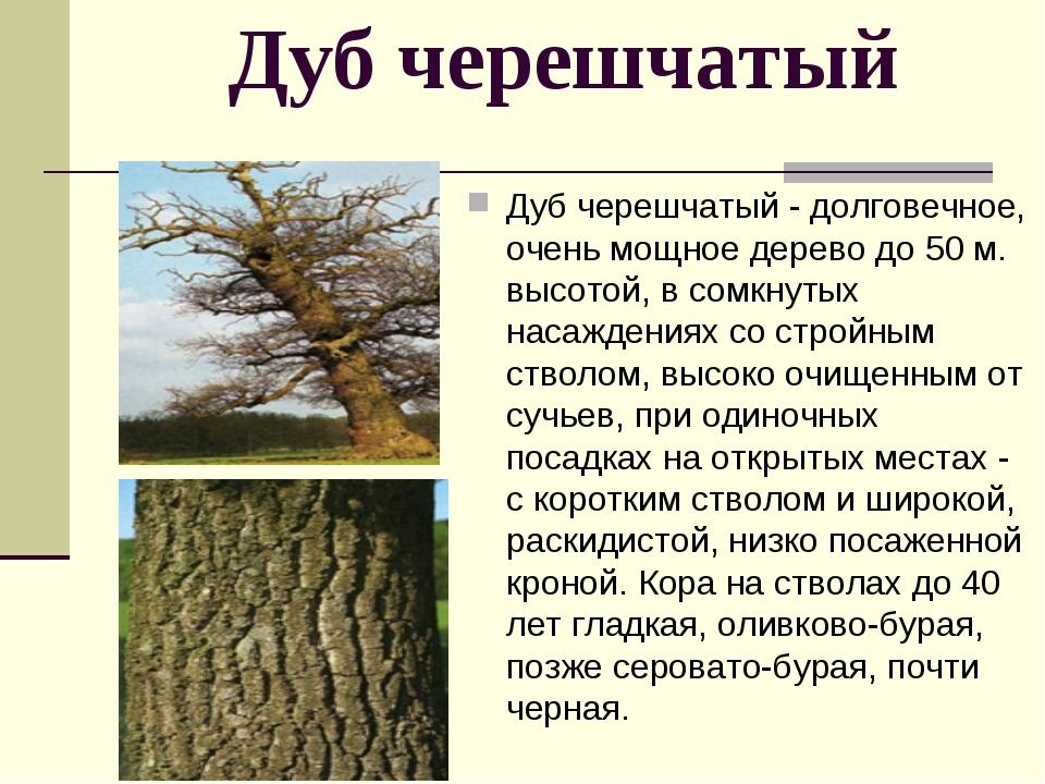 Дуб черешчатый Дуб черешчатый - долговечное, очень мощное дерево до 50 м. вы...