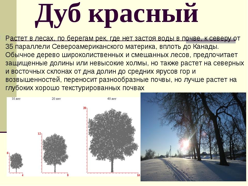 Дуб красный Растет в лесах, по берегам рек, где нет застоя воды в почве, к се...