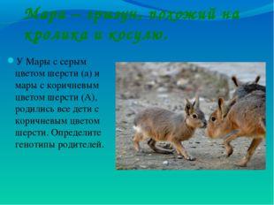 Мара – грызун, похожий на кролика и косулю. У Мары с серым цветом шерсти (а)