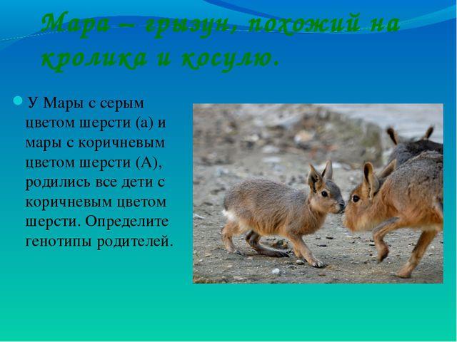 Мара – грызун, похожий на кролика и косулю. У Мары с серым цветом шерсти (а)...