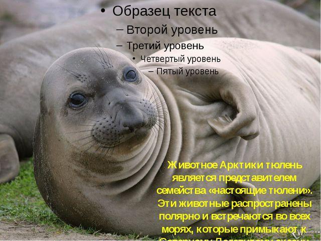 Тюлень Животное Арктики тюлень является представителем семейства «настоящие т...