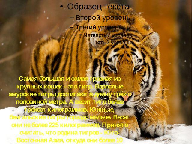 Тигр Самая большая и самая грозная из крупных кошек - это тигр. Взрослые амур...