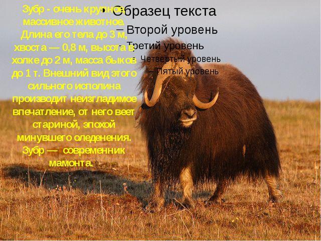 Зубр Зубр - очень крупное, массивное животное. Длина его тела до 3 м, хвоста...