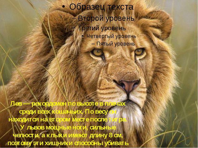 Лев Лев — рекордсмен по высоте в плечах среди всех кошачьих. По весу он наход...