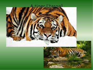 A tiger[ˈtaɪɡə]