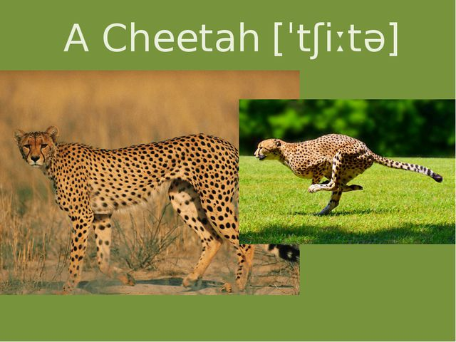 A Cheetah [ˈtʃiːtə]