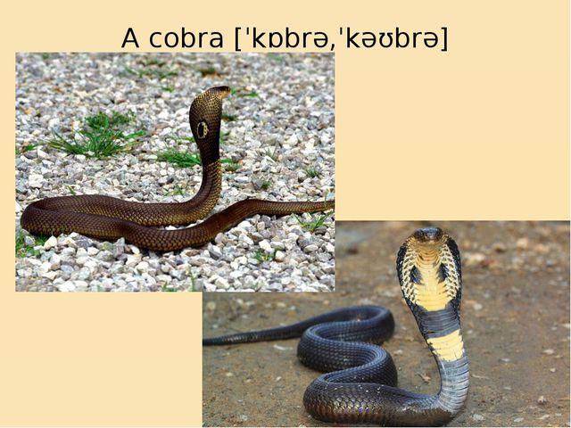 A cobra[ˈkɒbrə,ˈkəʊbrə]