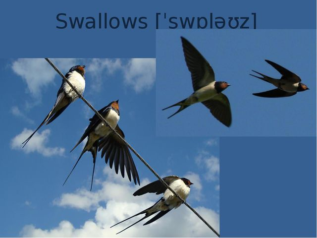 Swallows [ˈswɒləʊz]