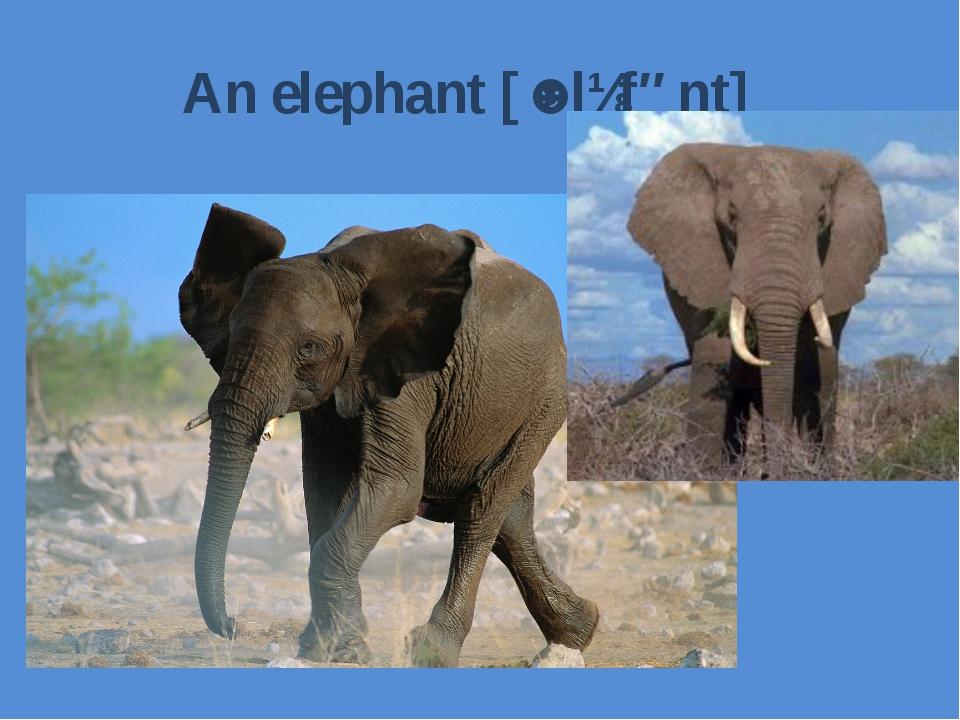 An elephant[ˈɛlɪfənt]