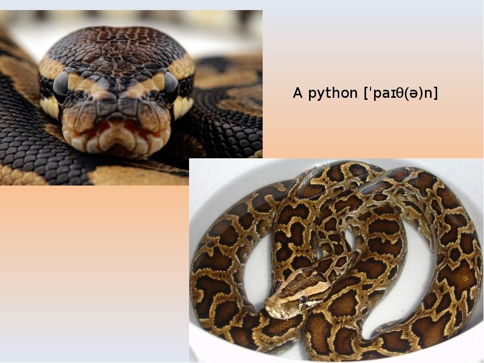 A python[ˈpaɪθ(ə)n]