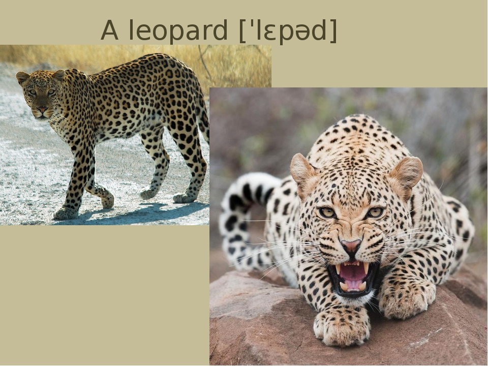 A leopard[ˈlɛpəd]