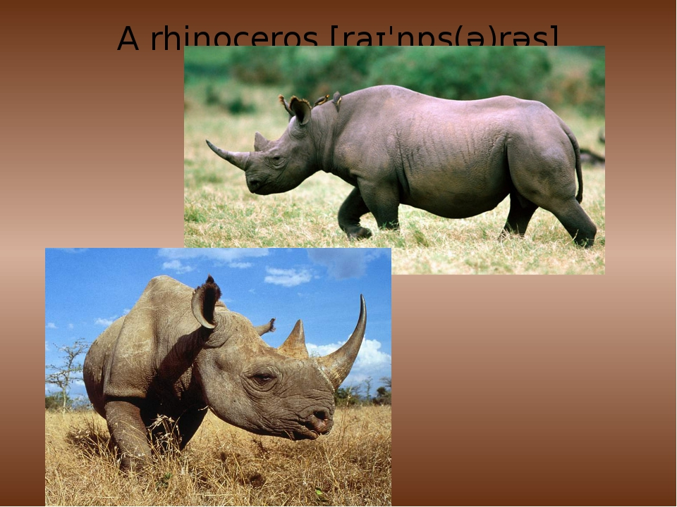 A rhinoceros[raɪˈnɒs(ə)rəs]